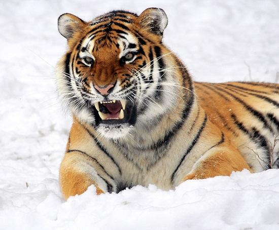 Победитель проекта ко Дню тигра будет награжден возможностью отправиться в приморскую столицу.